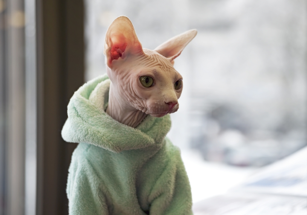 kot rasy sfinx w bluzie
